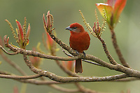 Hepatic Tanager male (Piranga flava), Belize