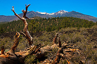 The San Francisco Peaks, beyond one of the hills at Sunset Crater Volcano National Monument, AZ