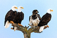 Oil Painting rendition of four Bald Eagles (Haliaeetus leucocephalus) perched on tree awaiting feeding on the shore of Kachemak Bay, Homer Spit, in Homer near Jean Keene's house on the Kenai Peninsula in  Southcentral Alaska. Winter.  Morning.