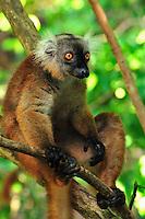 Black Lemur (Eulemur macaco macaco), female, Lokobe Nature Special Reserve, Nosy Be, Northern Madagascar