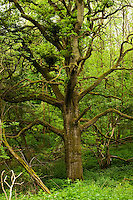 An ancient oak tree in the green light of the Wychwood forest, Oxfordshire.