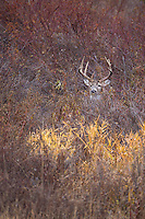 Western whitetail buck during the fall rut