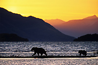 Coastal brown bear and cub walk the beach of Naknek lake at sunrise in Katmai National Park, Alaska.