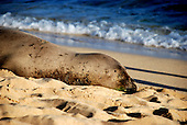 Hawaii, South Pacific.  Seal basking on the sandy beach.