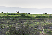 A Canada goose spreads its wings and calls, loudly, at the Hayward Regional Shoreline.  Even from a distance, that squawk gets attention.