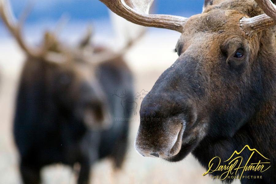 Two Bull Moose, Grand Teton National Park
