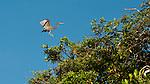 Graceful Pacific reef egrets patrolling nests, Triton Bay, Papua
