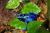 The Blue Poison Dart Frog (Dendrobates azureus) hunting a fruit fly, captive