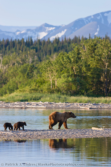 Brown bear sow and triplet cubs of the year, on the spit between Brooks river and Naknek lake, Katmai National Park, southwest, Alaska.