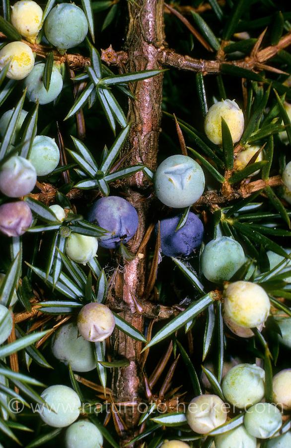 Gemeiner Wacholder, Heide-Wacholder, Heidewacholder, Früchte, Beeren, Wacholderbeere, Juniperus communis, Common Juniper
