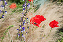 Perennial sage (Salvia 'Madelaine') and red field poppies (Papaver rhoeas) planted amongst Mexican feather grass (Stipa tenuissima). Arthritis Research UK Garden, designed by Thomas Hoblyn, RHS Chelsea Flower Show 2012.