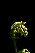 A close-up view of pohole fern shoots, Maui.