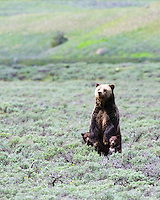 Standing Grizzly and two cubs.  This is a grizzly sow known as Quad Mom, she roams around northwest Yellowstone.