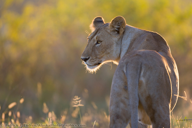Female lioness in morning sun, Serengeti National Park, Tanzania, East Africa