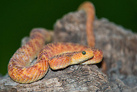 489000018 a captive reddish coloration phase variable bush viper atheris squamigera sits coilded on a limb species is native to the democratic republic of the congo