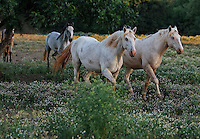 Two albino stallions from Santa Cruz Island horses from Channel Islands National Park, show signs of inbreeding within a small herd producing a recessive gene.  The brothers are pals at the Wild Horse Sanctuary.