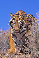 683999277 a captive bengal tiger panthera tigris walks on a brush covered hillside species is endangered and this animal is a wildlife rescue