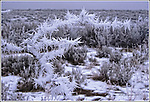 Hoarfrost formation on sagebrush, central Washington state.