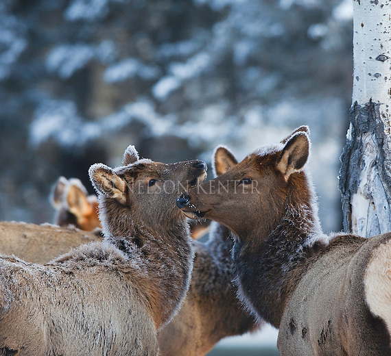 Cow elk on a frosty morning in Montana