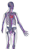 A posterolateral view (right side) of the blood supply of the upper body. The surface anatomy of the body is semi-transparent and tinted grey. Royalty Free