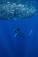 qf0380-D. Striped Marlin (Tetrapturus audax), feeding on Pacific Sardines (Sardinops sagax). Baja, Mexico, Pacific Ocean..Photo Copyright © Brandon Cole. All rights reserved worldwide.  www.brandoncole.com..This photo is NOT free. It is NOT in the public domain. This photo is a Copyrighted Work, registered with the US Copyright Office. .Rights to reproduction of photograph granted only upon payment in full of agreed upon licensing fee. Any use of this photo prior to such payment is an infringement of copyright and punishable by fines up to  $150,000 USD...Brandon Cole.MARINE PHOTOGRAPHY.http://www.brandoncole.com.email: brandoncole@msn.com.4917 N. Boeing Rd..Spokane Valley, WA  99206  USA.tel: 509-535-3489