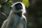 A portrait of a langur monkey in India.