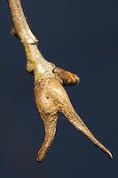 Ramshorn gall (Andricus aries) on oak. Surrey, UK.