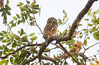 A diurnal Asian Barred Owlet (Glaucidium cuculoides) hunting in the early morning. (Prey Veng, Cambodia)