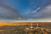 Landscape with bull caribou antlers on the summer tundra along Archimedes ridge in the Utukok uplands, National Petroleum Reserve Alaska, Arctic, Alaska.