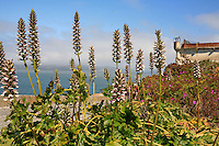 Gardens of Alcatraz with Bear's Breech, Acanthus mollis