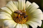 Bee on a Daisy, Western Honey Bee, Southern California