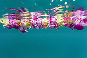 An underwater purple and yellow flower lei's image is reflected on the surface above it, O'ahu.