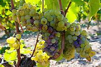 Noble rot, botrytis Cinera, on grape vine, Preignac, Sauternes,France on the estate of Chateau de Malle