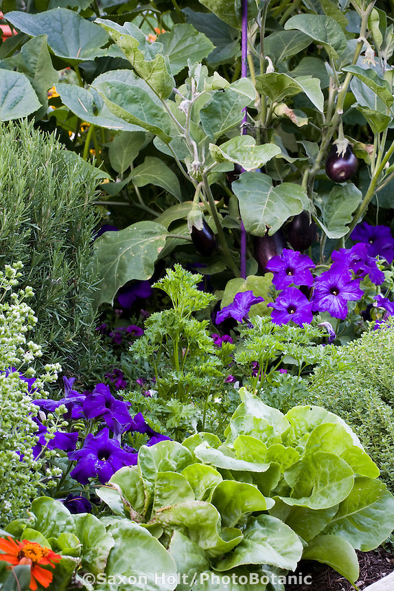 Edible landscape garden mixed border with herbs (parsley, rosemary, oregano, thyme), flowers (petunia) and vegetables (Lettuce, eggplant)