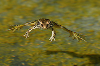 The Southern Leopard Frog is generally green or light brown in color, with dark brown or black blotching (that is the origin of their common name). They grow to 3½ inches (90 mm) in length and have a pointed snout.