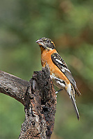 538660016 a wild male black-headed grosbeak pheucticus melanocephalus perches on a dead tree stump in madera canyon green valley arizona united states