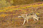 A gray wolf walks across the autumn tundra in Denali National Park, Alaska.