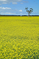 Canola crop in flower.<br /> <br /> Larger JPEG + TIFF images available by contacting use through our contact page at :..www.photography4business.com