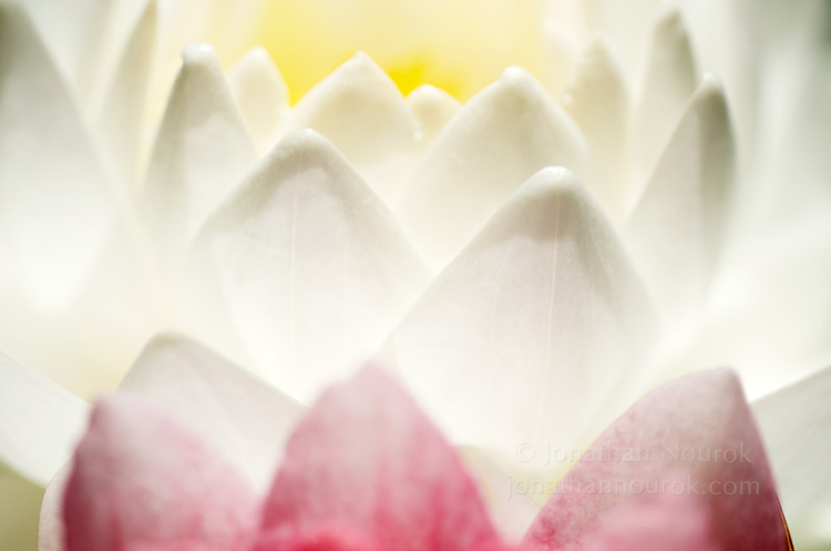 Close-up of a white / magenta water lily flower.