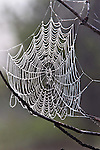 A spider web catches the morning dew in heavy fog around West Thumb Geyser Basin near Yellowstone Lake in Yellowstone National Park, Wyoming.