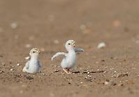 Least Tern (Sterna antillarum), young tern running, Port Isabel, Laguna Madre, South Padre Island, Texas, USA