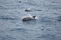 White beaked Dolphin Lagenorhynchus albirostris breaking surface at speed