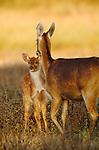 Barasinghas, Khana National Park, India