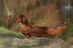 Dachshund<br /> <br /> <br /> Shopping cart has 3 Tabs:<br /> <br /> 1) Rights-Managed downloads for Commercial Use<br /> <br /> 2) Print sizes from wallet to 20x30<br /> <br /> 3) Merchandise items like T-shirts and refrigerator magnets