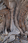 Ancient Juniper tree on the Saiq plateau. Oman