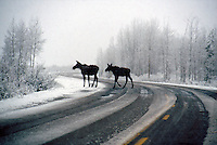 DEER FAMILY (CERVIDAE)<br /> 2 Moose Crossing Curved Snowy Road<br /> Grand Tetons
