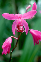 Bletilla striata hardy Chinese orchids, portrait macro of pink flower and ruffled lip, in bloom in June late spring, early summer, easy orchid to grow outdoors