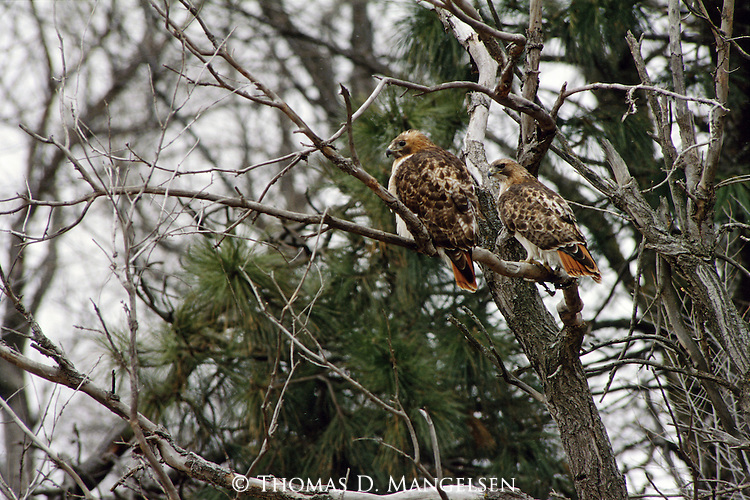 A pair of Red-tailed hawks perch in a tree in Nebraska.
