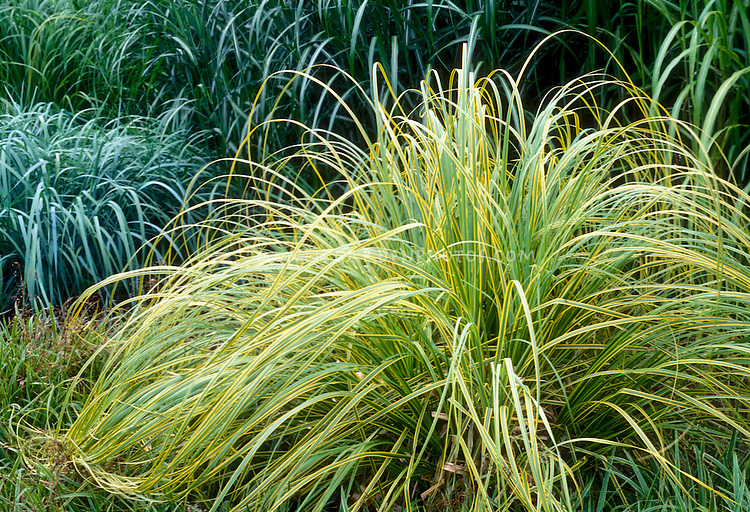 Cortaderia selloana aureolineata plant flower stock for Green ornamental grass