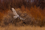 Sandhill crane, Bosque del Apache National Wildlife Refuge, New Mexico, USA